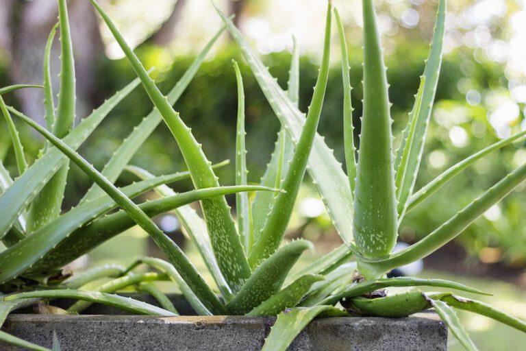 Aloe Barbadensis Yaprak Ekstraktı