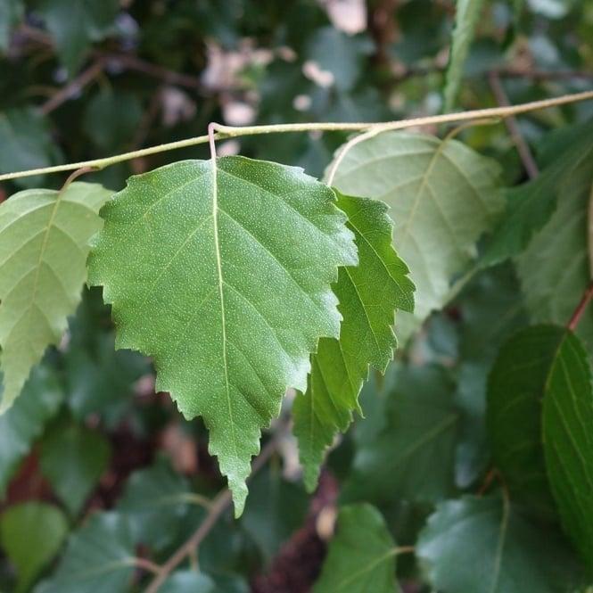 Betula Alba Yaprağı