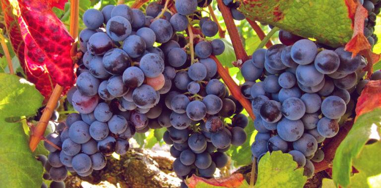 Vitis vinifera (Üzüm tohum ekstresi)