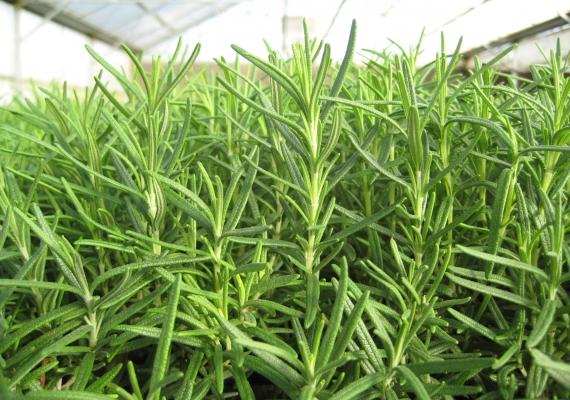 Rosmarinus Officinalis Extract (Biberiye Ekstresi)